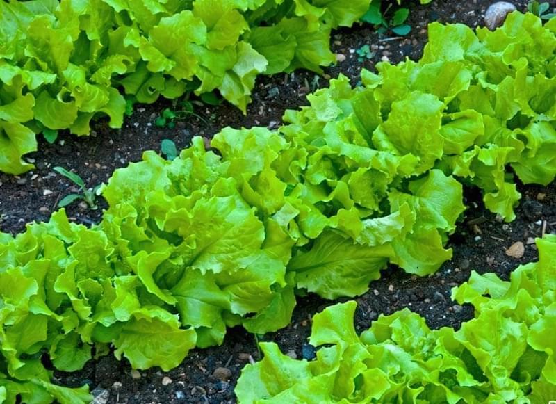 Які овочі посіяти першими навесні у відкритий грунт 1
