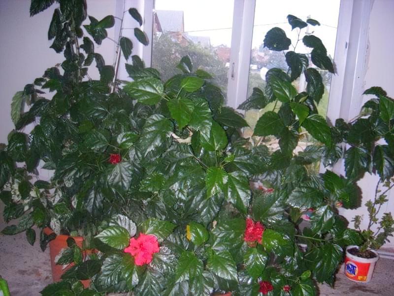 Чому не цвіте кімнатний гібіскус? 2