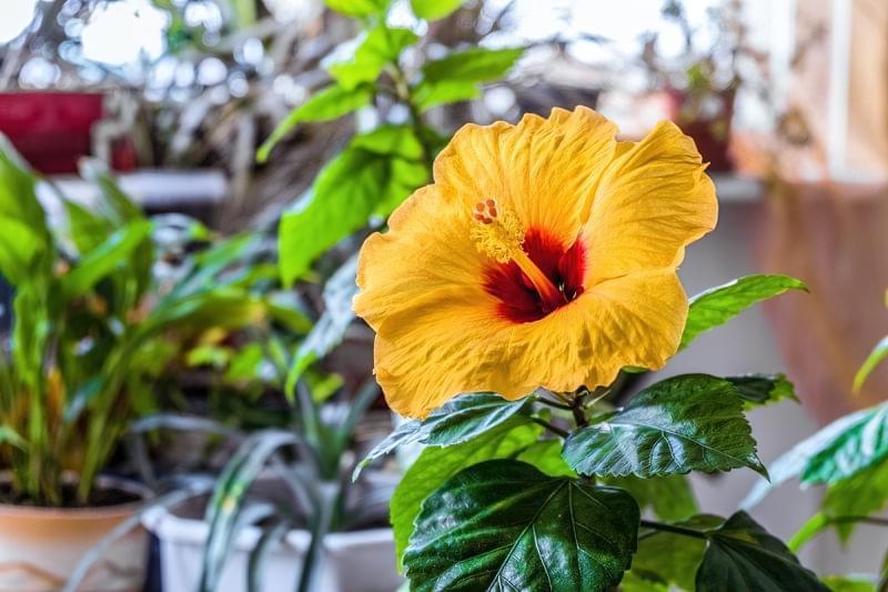 Чому не цвіте кімнатний гібіскус? 3