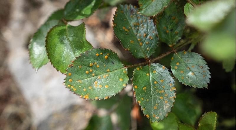 Чим обробити троянди від хвороб і шкідників навесні 2