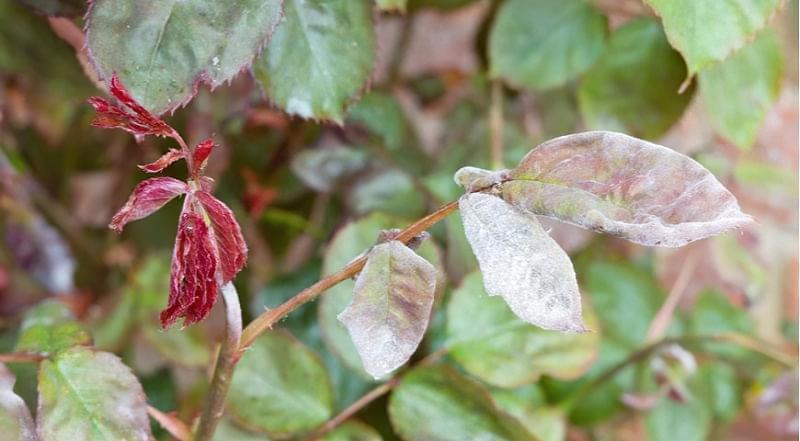 Чим обробити троянди від хвороб і шкідників навесні 4