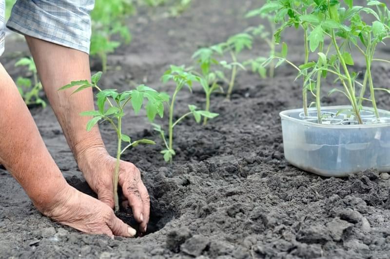 Що покласти в ямку при висадці томатів 1