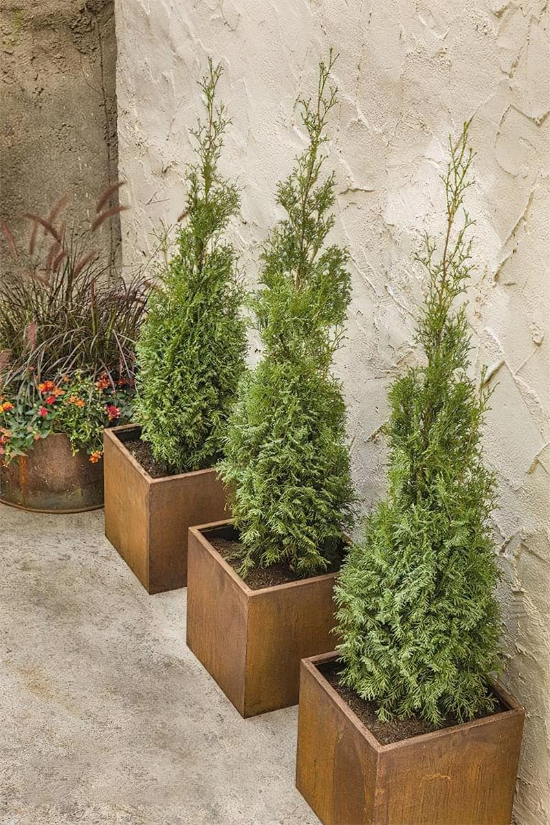 Які дерева можна виростити в контейнерах 2