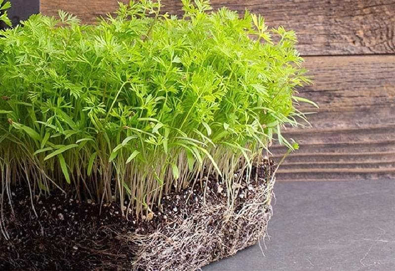 Які рослини підходять для вирощування мікрозелені 3