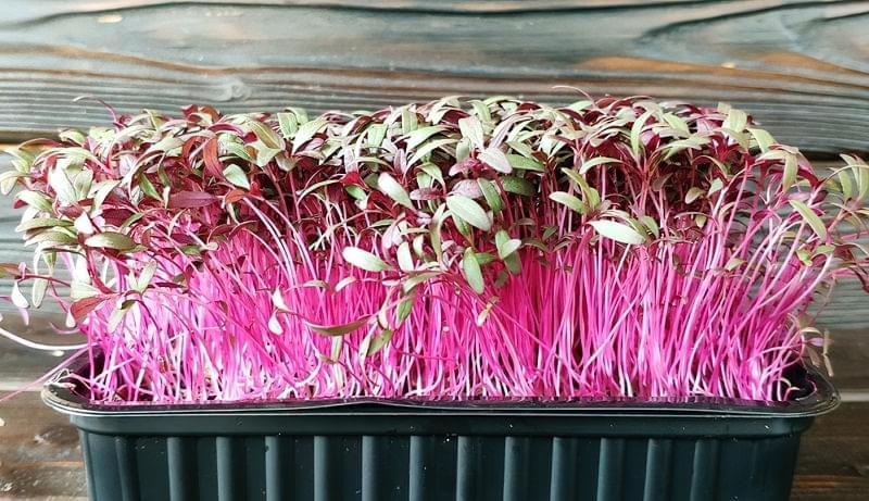 Які рослини підходять для вирощування мікрозелені 5