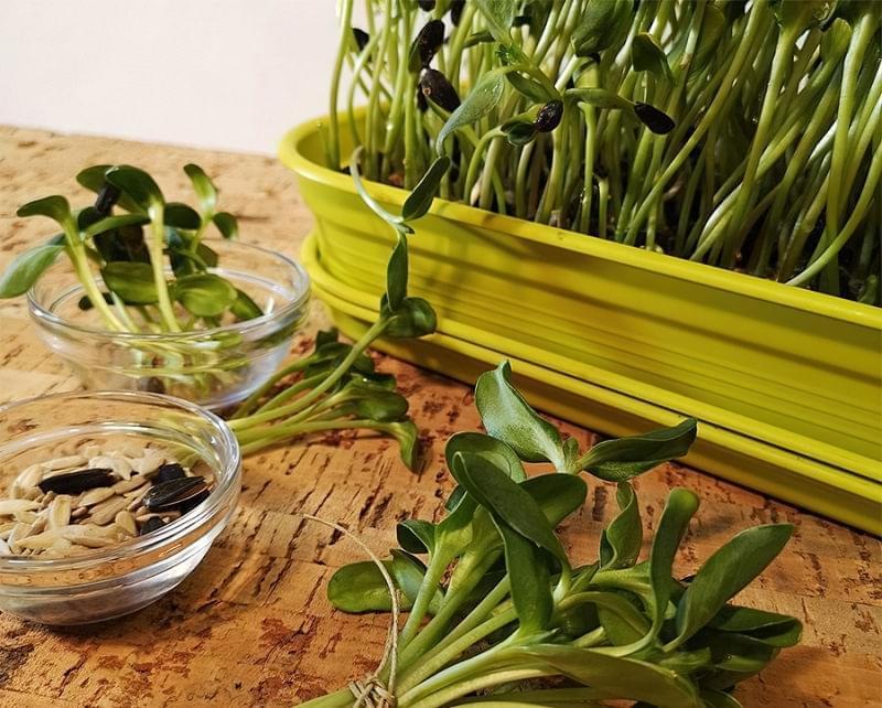 Які рослини підходять для вирощування мікрозелені 6