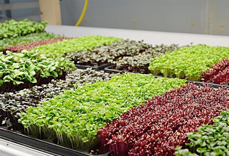 Які рослини підходять для вирощування мікрозелені 7