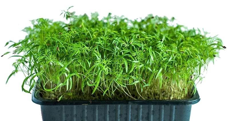 Які рослини підходять для вирощування мікрозелені 1