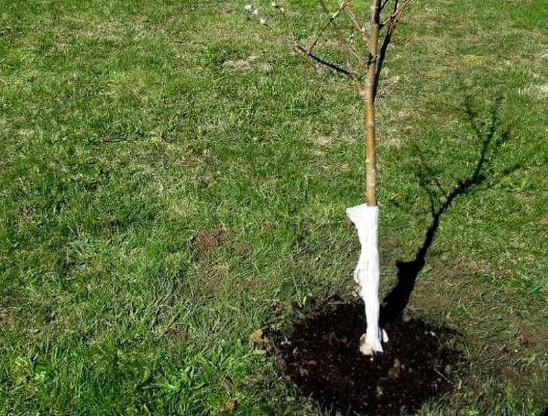 Як правильно посадити яблуню навесні 1