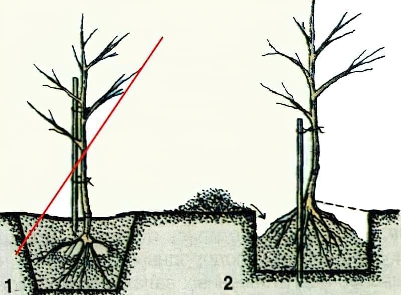 Як правильно посадити яблуню навесні 3