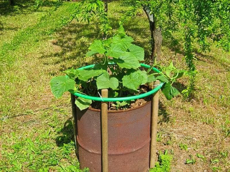 Як вирощувати огірки в бочках 2