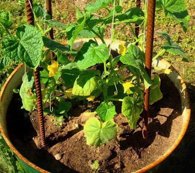Як вирощувати огірки в бочках 3