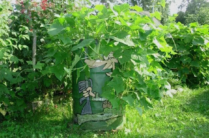 Як вирощувати огірки в бочках 4