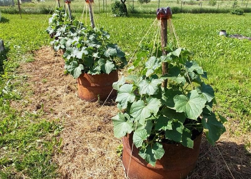 Як вирощувати огірки в бочках 1